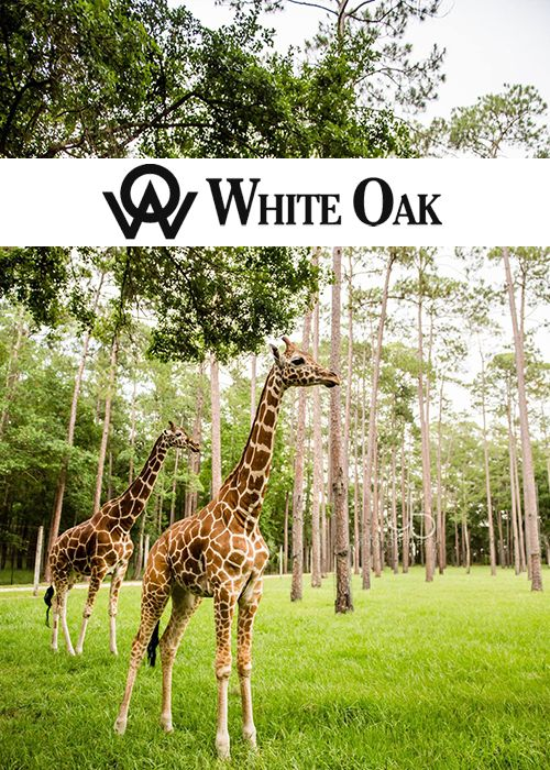 Like wildlife? We've got a blog for you!  Check out our new blog on the White Oak Conservation. -------------------- #florida #wildlife #zoo #conservatory #animals #tourism #tours