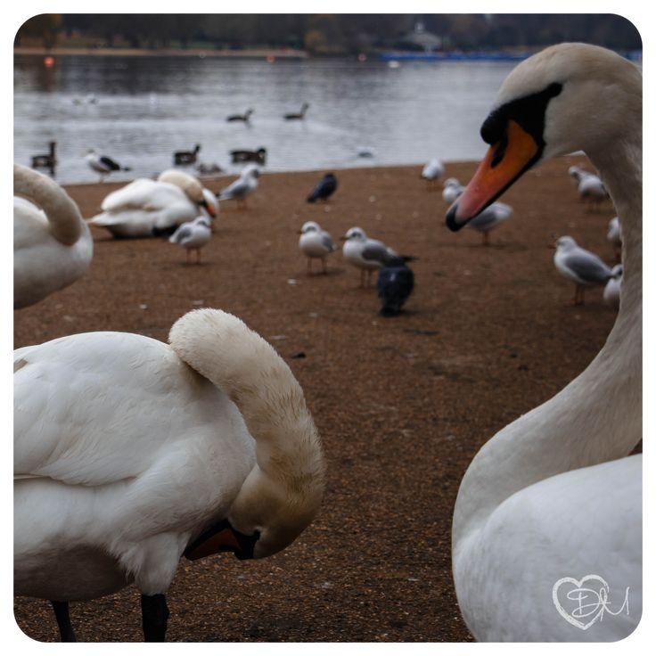 Cigno bianco - white swan in Hyde Park