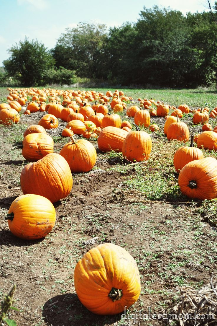 So many pumpkins! I want to go to a pumpkin patch like the KC Pumpkin Patch in the Kansas City Area as part of my Fall Bucket List.