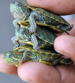 Loved having these red eared slider turtles when I was a kid.  I want some now!