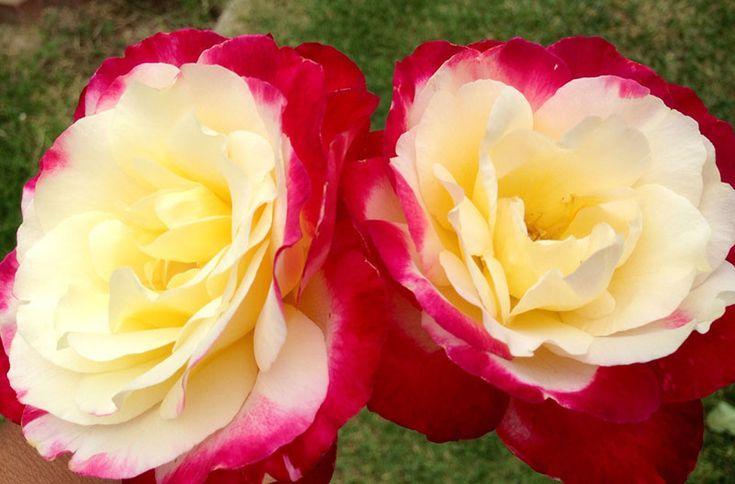 Роза Двойное Удовольствие - фото и описание сорта, посадка ...
