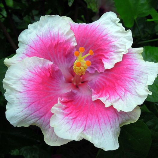 "Hibiscus...... Taiwan .... ""Angel Rose""...."
