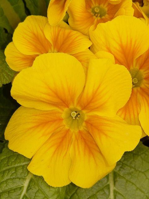 되돌아간다, 노란색, 꽃, 식물, 정원, 정원 팬지