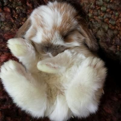 Holland Lop Rabbits for Sale