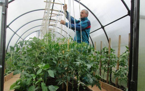 Шпалера для помидоров в теплице