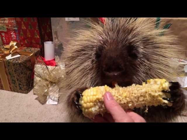 Teddy Bear, the talking porcupine, finds his favorite treat among the Christmas presents. Listen carefully and hear him say 'Santa!'