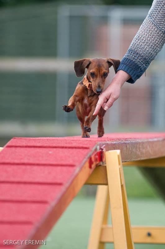 So much fun  - Sausage Dog Agility Course - Dachshund Jansen at by @Sergey Bortsov Bortsov Bortsov Bortsov Eremin 2013