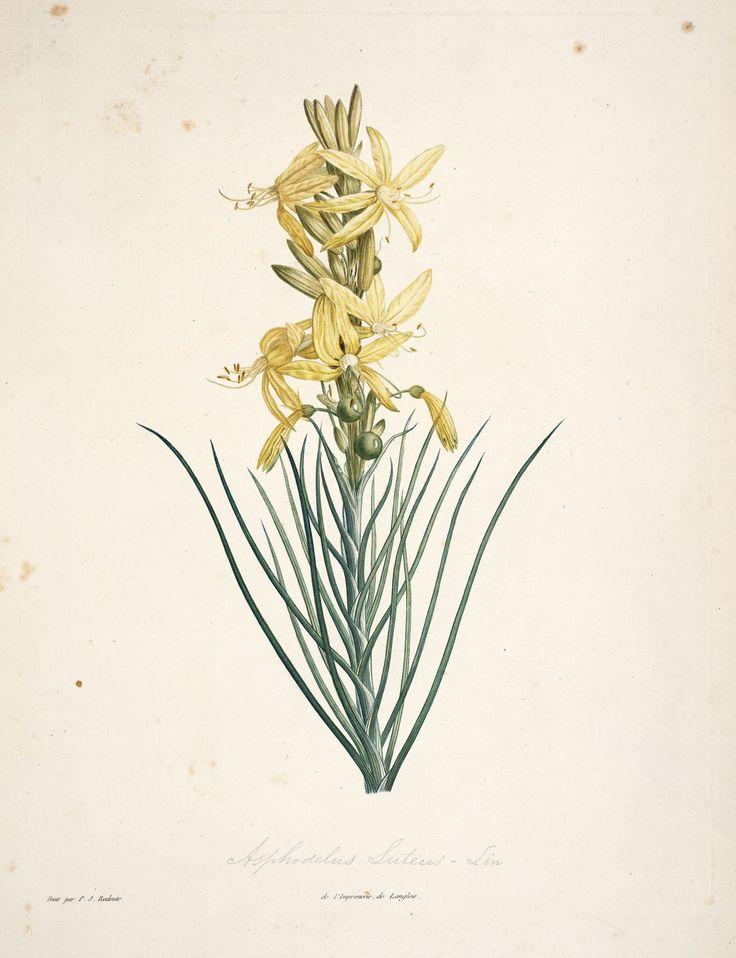 gravures botanique Rousseau - gravures botanique Rousseau - 134 asphodelusluteus - asphodele jaune - Gravures, illustrations, dessins, images