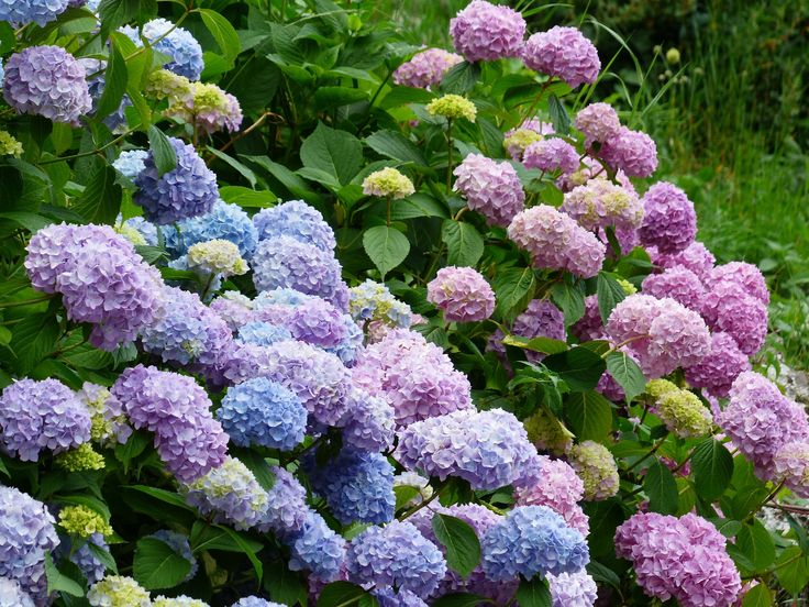 Lush, lavish blooms you'll instantly love! Hydrangeas are like the little black dress of the garden. They're chic and always in style.
