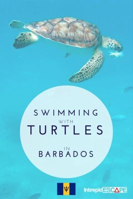 Swimming with Sea Turtles in Barbados - We took a catamaran tour along the West coast of the island, it was around 4-5 hours long, and included 3 stops, one for snorkelling, one to see the turtles and one for a swim to Sandy Lane Beach.
