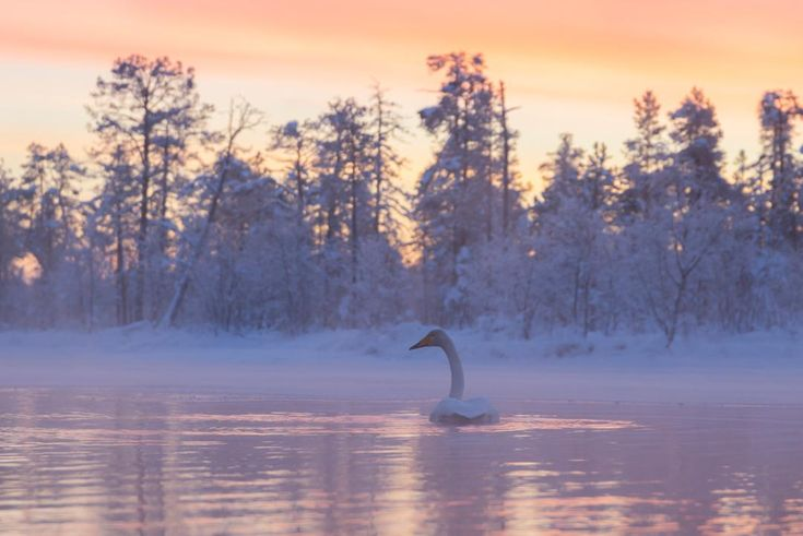 Swan during a winter sunset Muonio Finland [1080×7…