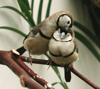 Double-barred finches, sometimes referred to as Owl finches because of the dark ring of feathers around the face
