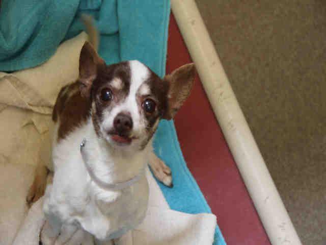 Chihuahua dog for Adoption in Denver, CO. ADN-536661 on PuppyFinder.com Gender: Male. Age: Senior