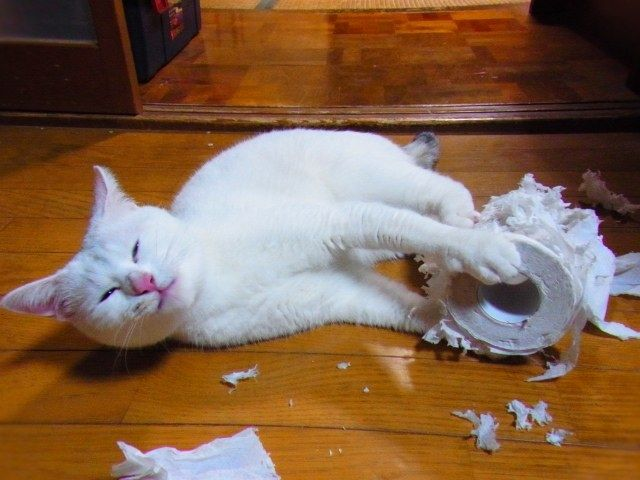 Image result for cat and toilet paper roll