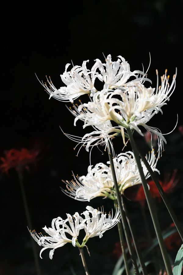 17 Best images about Spider lily on Pinterest | Fireworks .