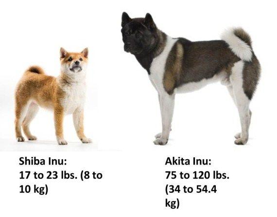 Akita VS Shiba Inu. Akita's temperment, companionship & loyalty win any day!