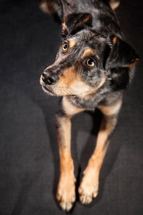 Sweet Dog. Jasper. Grey on Grey. Studio Portrait.