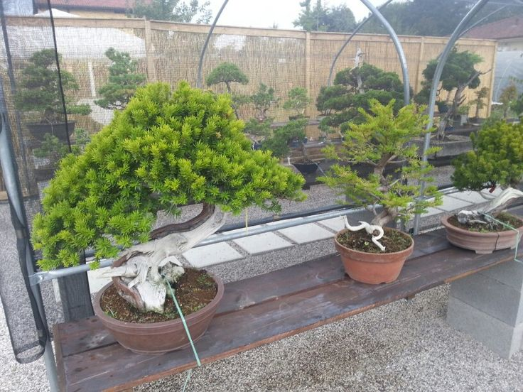 After the storm.. #bonsaicoloredoriente #bonsai