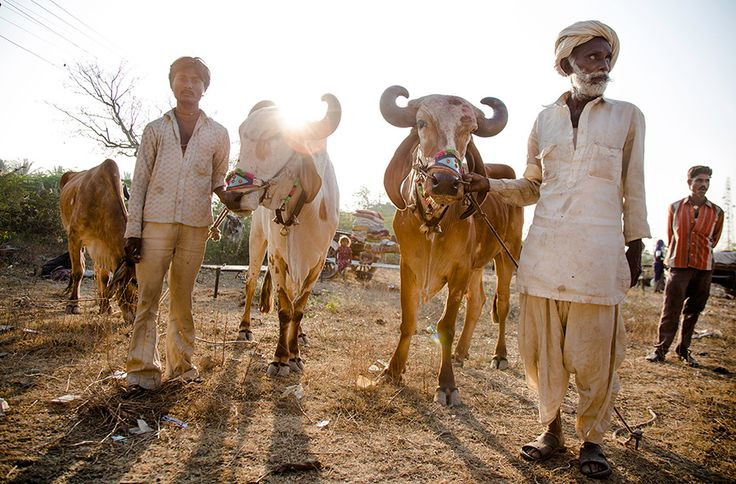 Bull seller nomads of Gujarat