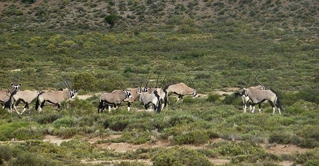A herd of Gemsbok by Calvin