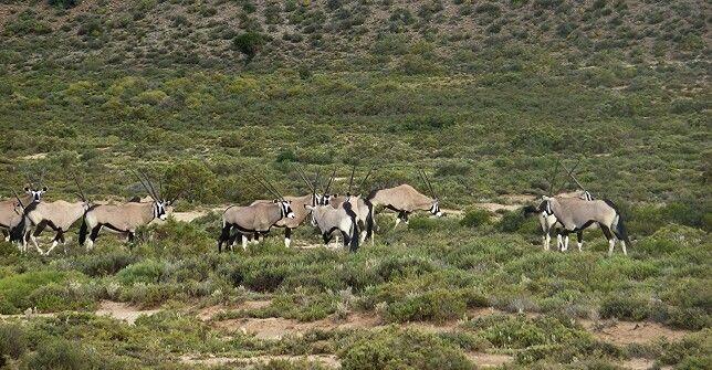 A herd of Gemsbok by Calvin