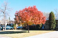 Showy Mountain Ash in fall. Sorbus decora