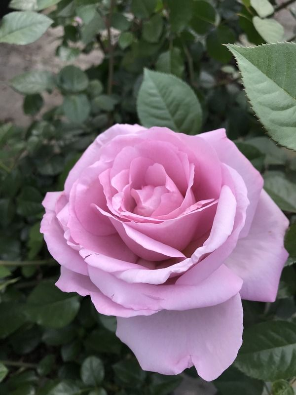 Le Petit Prince Rose Photo Half Open Rose Smells Good Fully