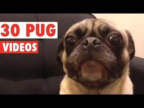 Pugs have the funniest faces... and the funniest behaviours. Please subscribe to…