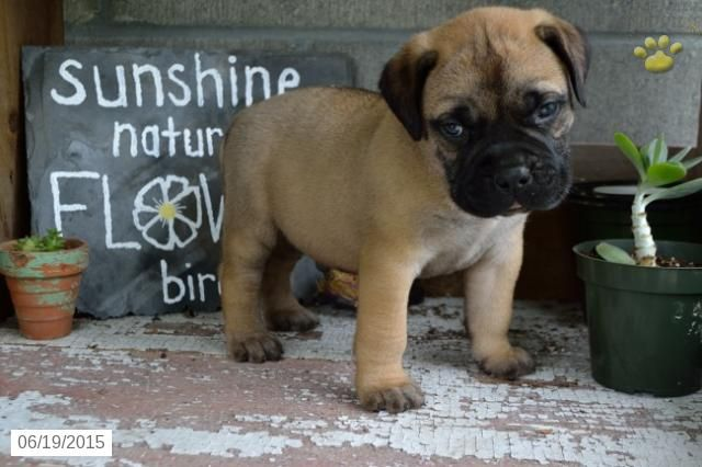 Bullmastiff Puppy for Sale in Ohio #BuckeyePuppies