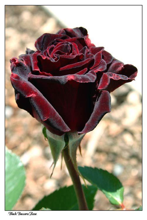 Black Baccara rose by little-faerie-bits.deviantart.com