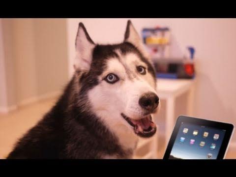 Mishka the husky sings along with iPad's LaDiDa app.