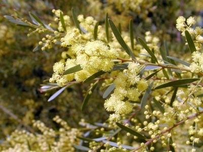 Acacia fimbriata - Fringed Wattle.  Australian native plant in Adelaide
