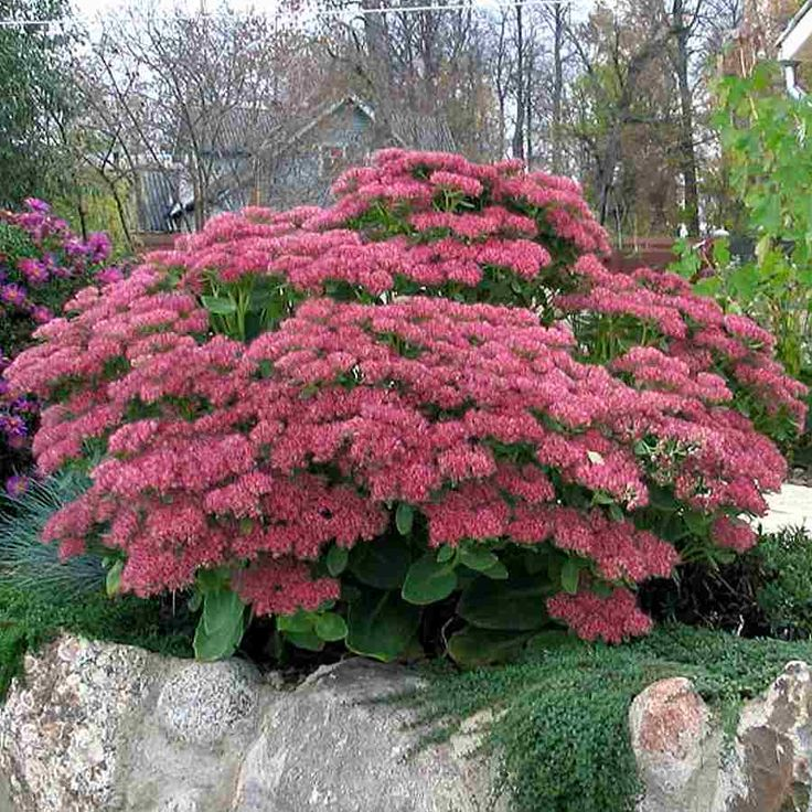 Sedum autumn joy fall blooming color as the name implies for Low maintenance fall flowers