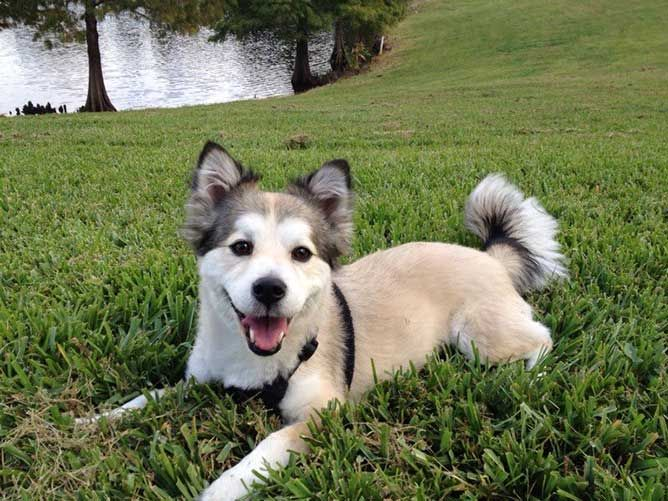 Why The Corgi Husky Mix Is So Much More Than A Compact Husky?
