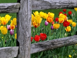 Tulip garden wallpapers