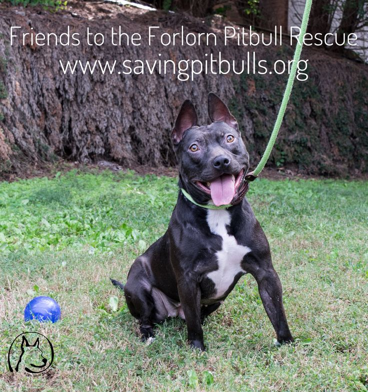 Breed: Pit Bull Terrier  Gender: Female  Estimated Date of Birth: October 6, 2014  Size: 34 lbs  Location: Woodstock, GA #FTTF #FriendsToTheForlorn #Pitbull #Rescue #Adopt