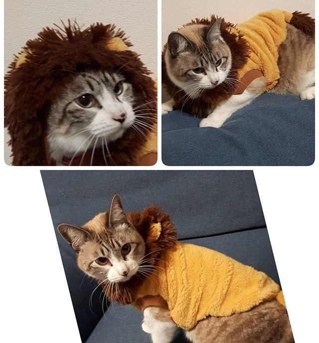 獅子君ฅ*'ω'*ฅニャン♪ 他の猫と目が合っただけで降参とお腹を見せるシシ君だけど今日はライオンになったので、逆にみんなが逃げる( *´艸`) 百獣の王ライオン♡シシ君ฅ( •ω• ฅ)ガオ-♡ #ライオン #百獣の王 #コスチューム #大好き #癒し #愛おしい #宝物 #大切 #愛猫 #いつもありがとう #幸せ #家族 #かけがえのない時間 #可愛い #かわいい #love #愛 #ねこら部 #ねこ部 #猫好きさんと繋がりたい #ペット #猫 #ねこ #ネコ #cat #cats #instcat
