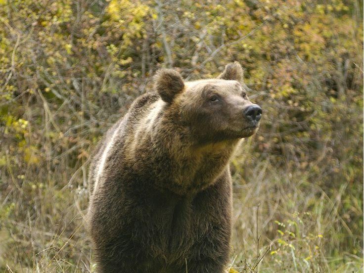 Orso bruno marsicano - Marsican brown bear Dimensioni: Mediamente un orso maschio adulto ha un peso intorno ai 100 - 150 kg (le femmine sono più piccole) ed una lunghezza massima di 150 - 180 cm. Vita: 35-40 anni Habitat: Il bosco rappresenta l'habitat più importante per l'Orso: in esso trova rifugio, tranquillità e cibo.  L'orso è un animale che si nutre sia di piante che di animali. #Abruzzo #travel #italy #Abruzzen #nationalpark #orso #bear #marsicano #abruzzosegreto #navelli…