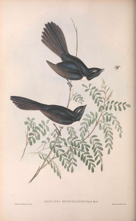 v.2 (1848) - The birds of Australia. - Biodiversity Heritage Library