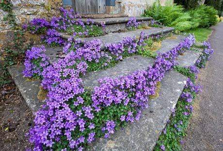 CAMPANULA portenschlagiana 'Birch ' - Krybeklokke, store blomster, farve: violet, lysforhold: sol/halvskygge, højde: 15 cm, blomstring: juni - juli.