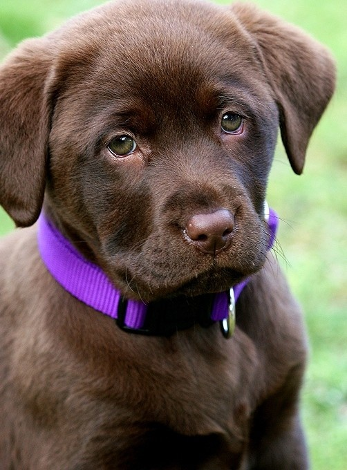 Chocolate Lab, so precious... the Grand puppy he will arrive on March 15.