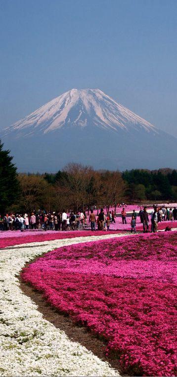 Fuji Shibazakura (pink moss phlox) Festival at  Hitsujiyama Park in Chichibu, Saitama Prefecture, Japan • photo: huitze
