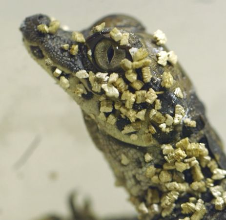 Eight rare West African Dwarf Crocodiles hatched at the San Diego Zoo last week - a first in the zoo's 101-year history. See VIDEO of the tiny crocs emerging from their eggs on ZooBorns.com and at http://www.zooborns.com/zooborns/2017/11/dwarf-crocodiles-hatch-at-san-diego-zoo.html