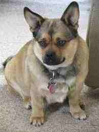 Pug slash corgi mixed breed dog.