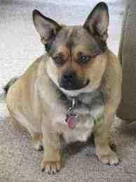 Pug slash corgi mixed breed dog.