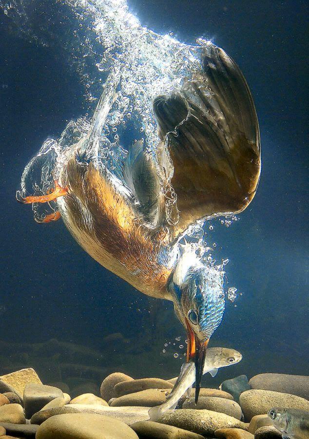 Kingfisher bird catching fish underwater