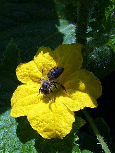 Gurkenblüte und eine Wespe