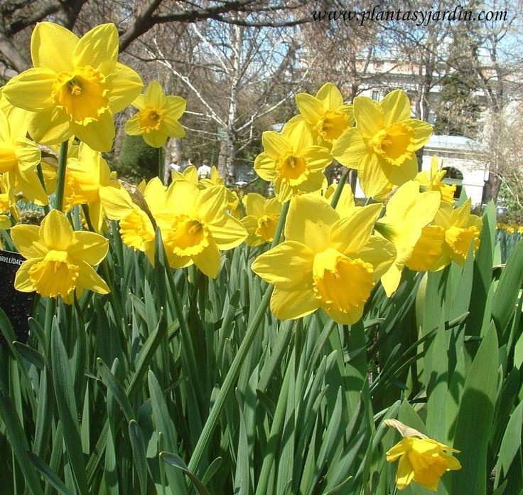 Mejores 19 im genes de plantas bulbosas en pinterest - Clases de flores amarillas ...