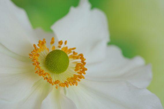 Witte anemoon, nieuw in mijn shop