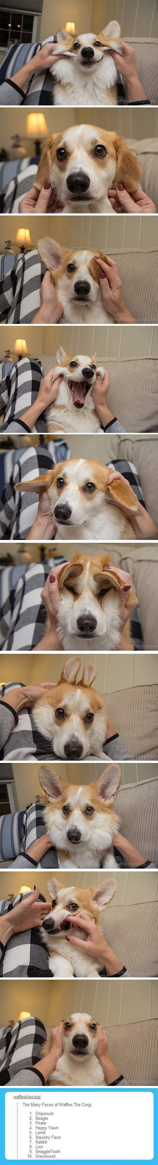 Many Faces Of A Corgi